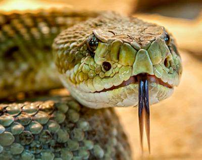 serpiente-lengua