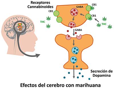 Efectos del cerebro con marihuana